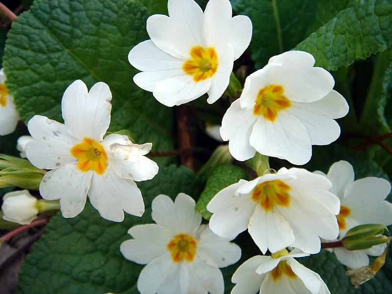 File:Primula vulgaris-2.JPG