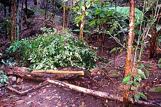 Ligustrum lucidum - Image: Privet killed as weeds in an Australian rainforest
