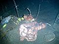 Proboscis worm.JPG