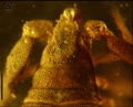 Procheiridium judsoni holotype Fig1 A.png