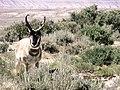 Pronghorn buck (29857049432).jpg