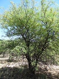 Prosopis flexuosa flowering.JPG