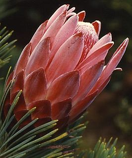 <i>Protea aristata</i> Species of flowering plant in the family Proteaceae