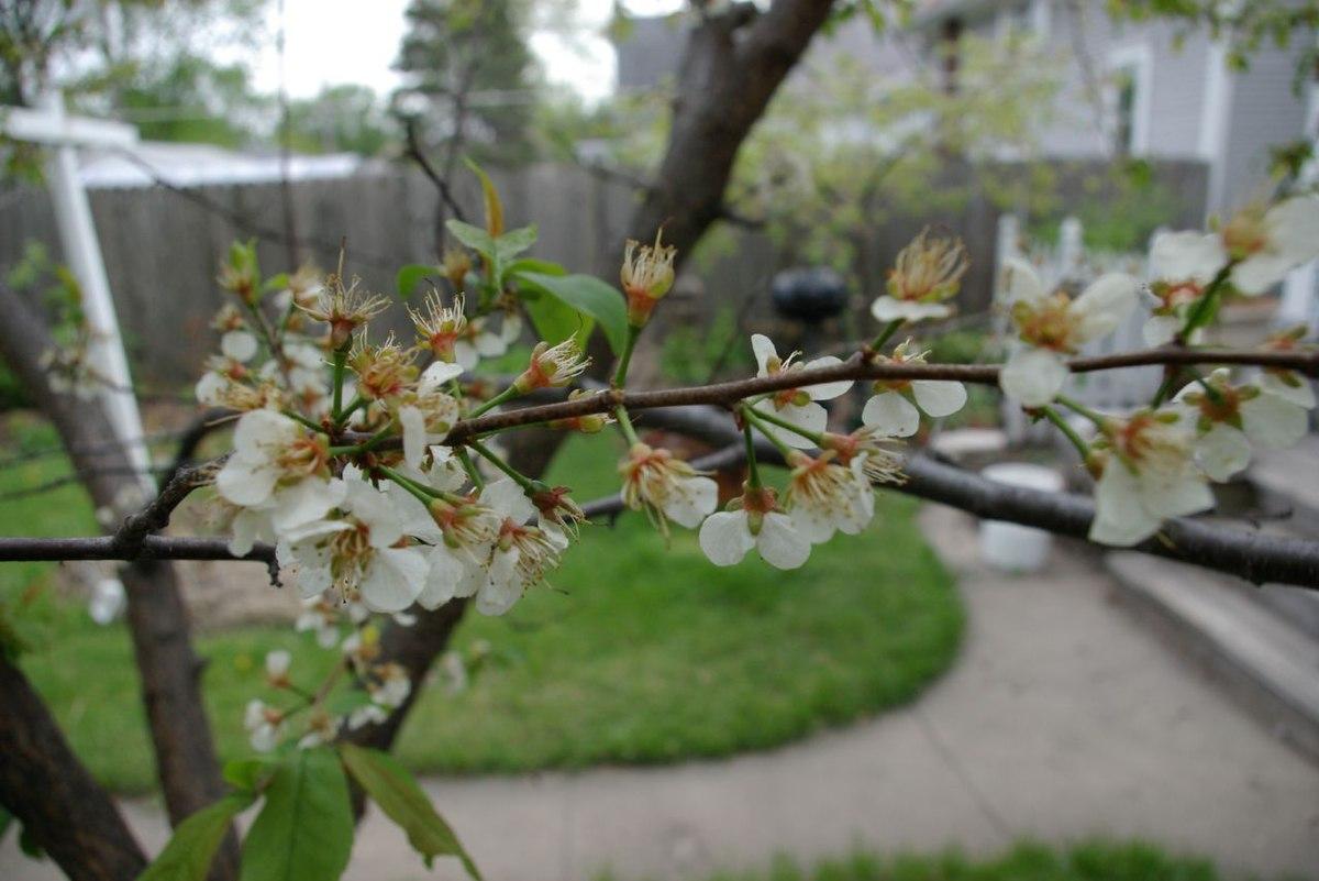 Prunus Americana Wikipedia