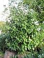 Prunus laurocerasus 0zz.jpg