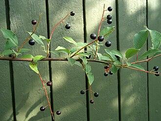 Prunus padus - Bird cherries (drupes)