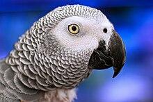 Psittacus erithacus (Nice parrot).jpg
