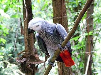 Psittacus - Grey parrot in a bird park