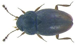 Ptiliidae - Ptenidium pusillum
