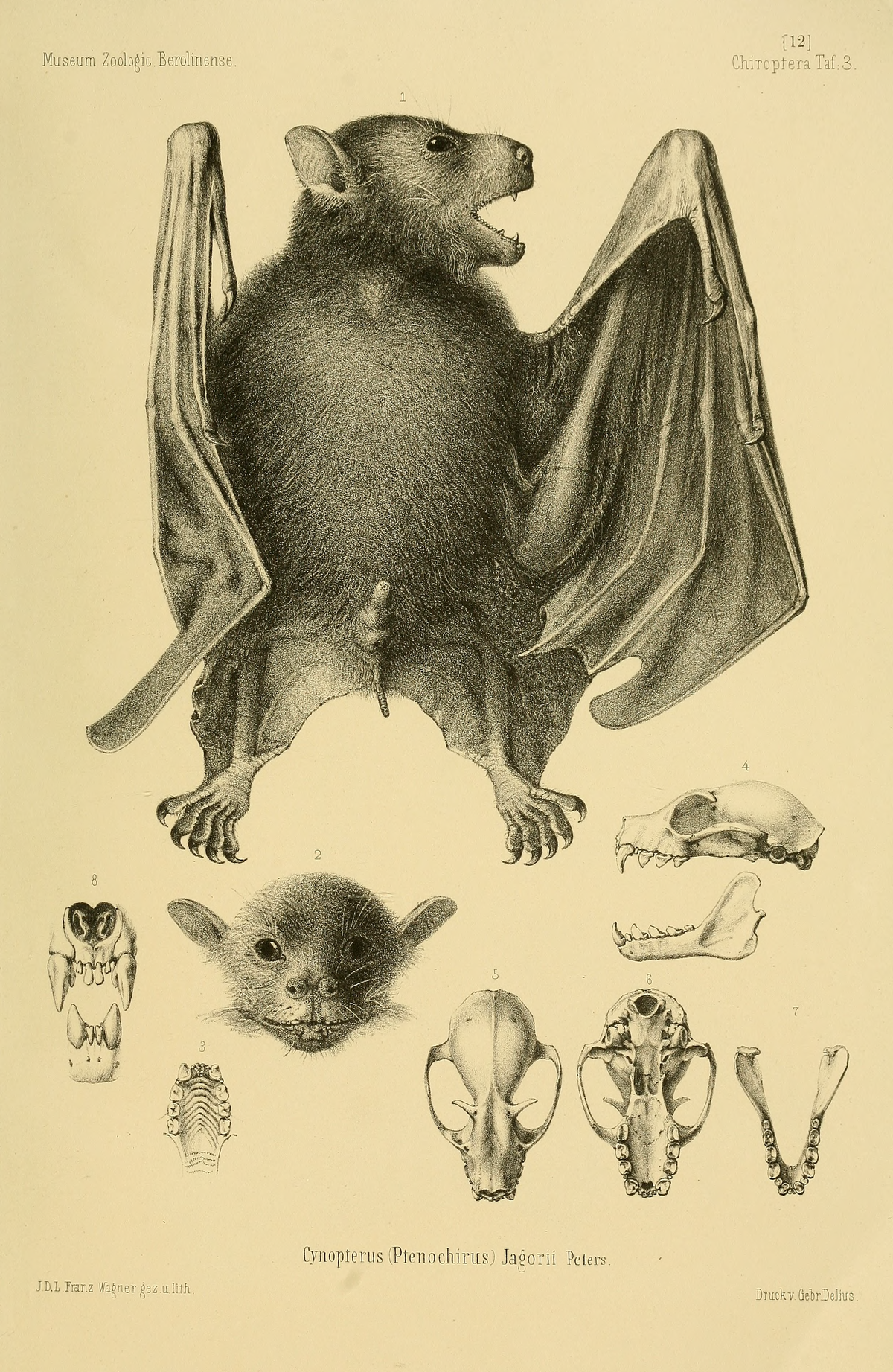 Ptenochirus