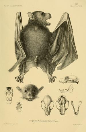 Greater musky fruit bat - Image: Ptenochirus jagori Paul Matschie 1899