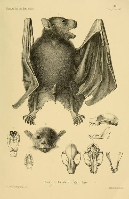 500px ptenochirus jagori paulmatschie1899