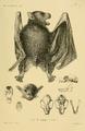 Ptenochirus jagori-PaulMatschie1899.png