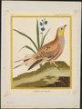 Pterocles senegallus - 1700-1880 - Print - Iconographia Zoologica - Special Collections University of Amsterdam - UBA01 IZ16900047.tif