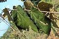 Pterospermum diversifolium 01.JPG