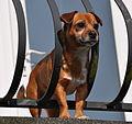 Pug-Russell on guard duty! (6800631130).jpg