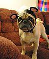 Pug wearing a hat.JPG