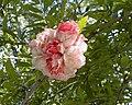 Punica granatum 'Legrelliae'.jpg