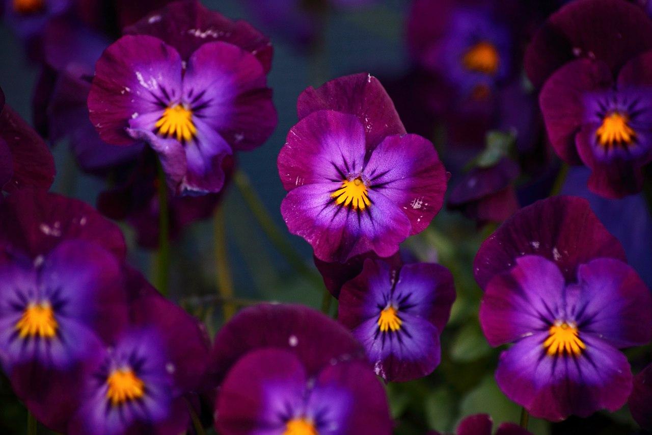 Filepurple pansy spring flowers west virginia forestwanderg filepurple pansy spring flowers west virginia forestwanderg mightylinksfo