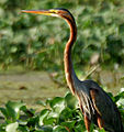 Purple Heron (Ardea purpurea) in Kolleru, AP W2 IMG 4047.jpg