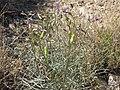 Purple broom, Astragalus serenoi var. shockleyi (16120825957).jpg