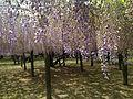 Purple wisteria in Kawachi Wisteria Garden 20150509-12.JPG
