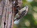 Pygmy Woodpecker (246773343).jpeg