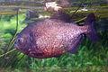 Pygocentrus nattereri (Piranha rouge) - 434.jpg