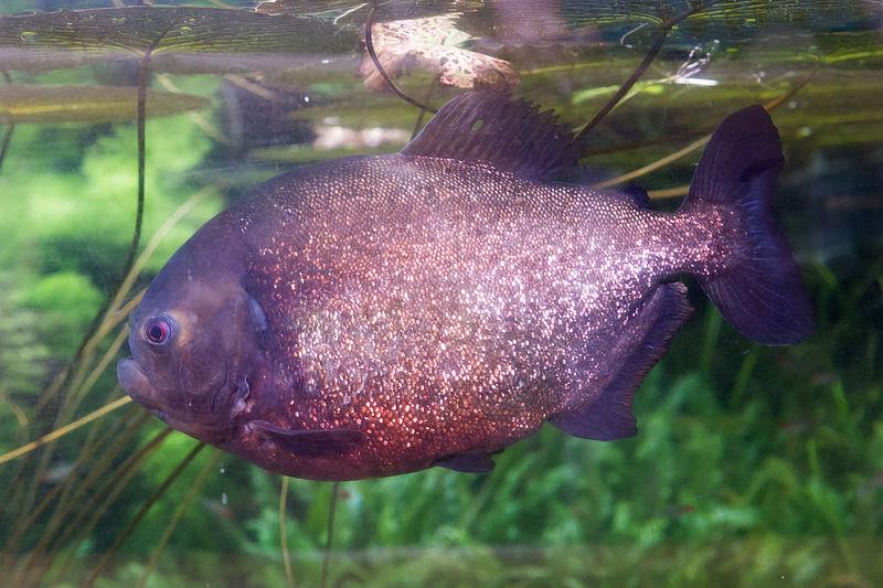 File:Pygocentrus nattereri (Piranha rouge) - 434.jpg