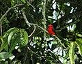 Pyrocephalus rubinus (Petirrojo, Pechirrojo, Cardenal) - Macho adulto (14314264403).jpg