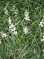 Pyrola rotundifolia RHu 01.JPG
