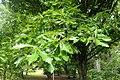 Quercus bicolor kz04.jpg