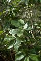 Quercus chapmanii (24195498526).jpg