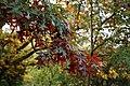 Quercus coccinea 'Splendens' leaves, Beale Arboretum, West Lodge Park, Hadley Wood, Enfield London.jpg