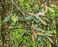 Quercus crassifolia in Hackfalls Arboretum (4).jpg