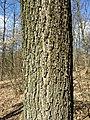 Quercus petraea (s. lat.) sl16.jpg