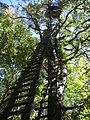 Quercus petraea Navarra(3).JPG