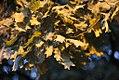 Quercus robur - Hrast luznjak (1).jpg