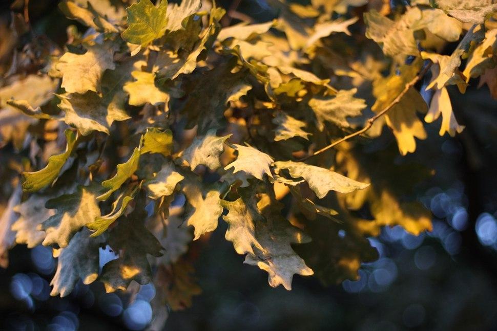 Quercus robur - Hrast luznjak (1)