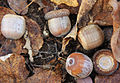 Quercus rubra N red oak acorns.jpg