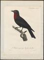 Querula purpurata - 1825-1834 - Print - Iconographia Zoologica - Special Collections University of Amsterdam - UBA01 IZ16600119.tif