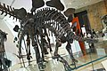 ROM 38 - Estegosaurus (14336484016).jpg