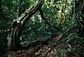 Rainforest understory in Lambir Hills National Park.jpg