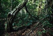 Rainforest understory in Lambir Hills National Park.jpg