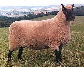 Clun Forest sheep - Ram of the Clun Forest breed