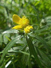 A buttercup flower, with three yellow petals out of five.