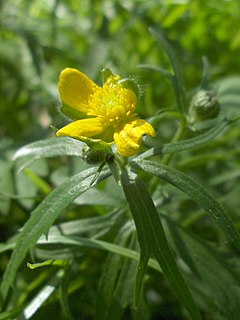 <i>Ranunculus auricomus</i> Species of flowering plant
