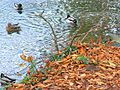 Rat and ducks, River Kennet, Marlborough - geograph.org.uk - 609671.jpg