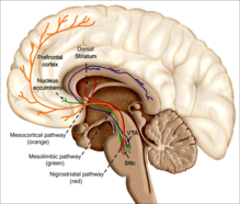 An image of the human brain. The reinforcing effects of drugs of abuse, such as nicotine, is associated with its ability to excite the mesolimbic and dopaminergic systems. How does the nicotine in e-cigarettes affect the brain? Until about age 25, the brain is still growing. Each time a new memory is created or a new skill is learned, stronger connections – or synapses – are built between brain cells. Young people's brains build synapses faster than adult brains. Because addiction is a form of learning, adolescents can get addicted more easily than adults. The nicotine in e-cigarettes and other tobacco products can also prime the adolescent brain for addiction to other drugs such as cocaine.