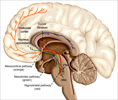 Social connection activates the reward system of the brain. Recolored Overview of reward structures in the human brain2.png